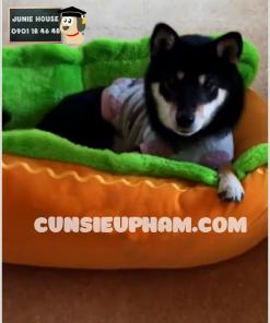 Junie House chuyên cung cấp quần áo, phụ kiện cho thú cưng: Trang phục superman, cướp biển, minions, nệm hình hotdog cho chó mèo | 0901.18.46.48